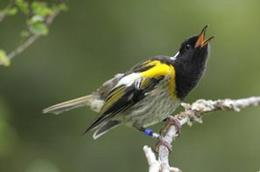 Small male stitch bird on branch, beal open, black head, yellow cape and fawn wings