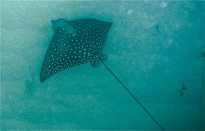 I spoted a spotted stingray, Isle Of Pines